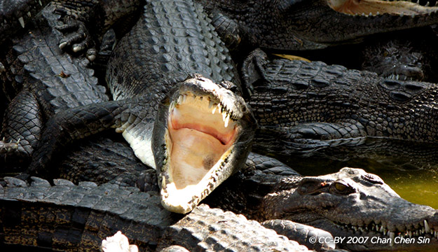 Trại Cá Sấu Miri
