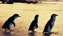 Travel to Melbourne with cheapest airfare and visit Phillip Island
