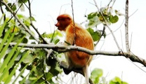 Travel to Brunei with cheapest airfare and find out Proboscis monkey in Brunei