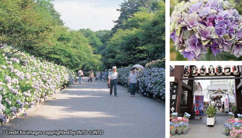 เทศกาลดอกไฮเดรนเยีย (เส้นทางโตเกียว)