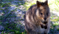 Travel to Perth with cheapest airfare and visit quokka in Rottnes Island